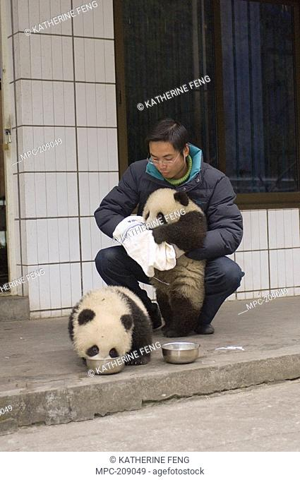 Giant Panda Ailuropoda melanoleuca researcher wiping cub's mouth after feeding on special milk, Wolong Nature Reserve, China