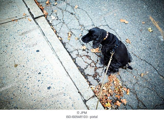 Black dog on leash sitting in the street
