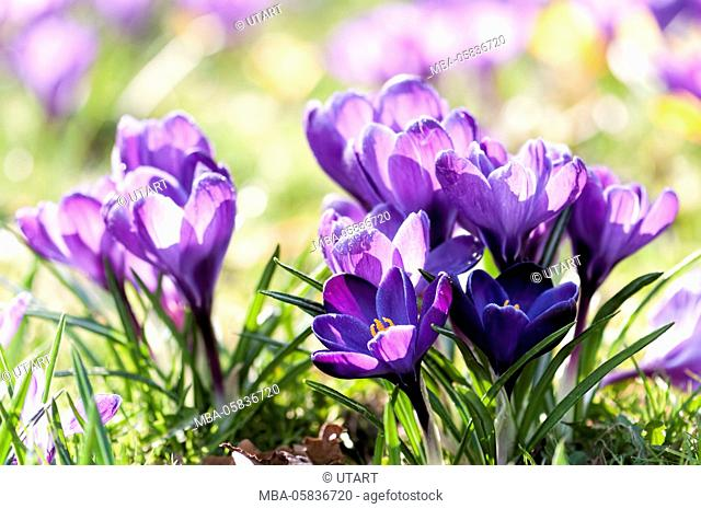 mauve crocuses in meadow, close-up, in the morning, blossoms with drop of water glitter in the light, in the background yellow blossoms