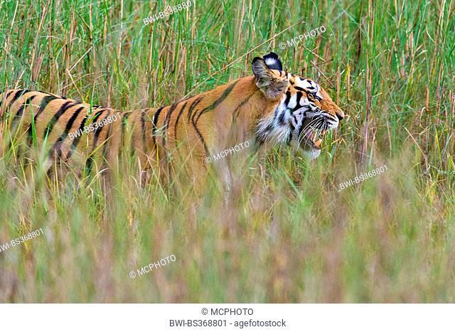 Bengal tiger (Panthera tigris tigris), stalking through tall grass, India, Kanha National Park