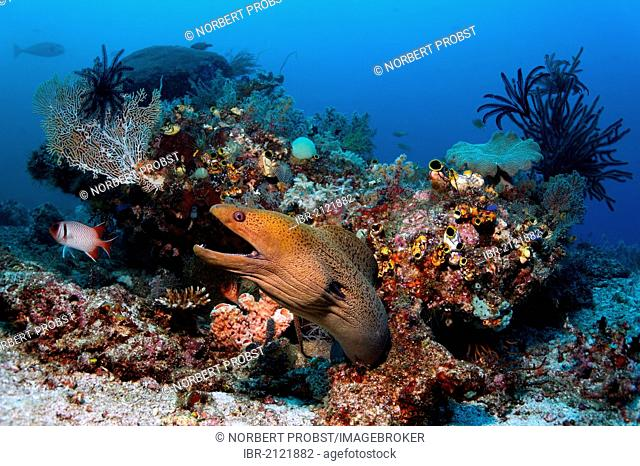 Giant Moray (Gymnothorax javanicus), looking out from coral block in a threatening manner, coral reef, Great Barrier Reef, UNESCO World Heritage Site, Cairns