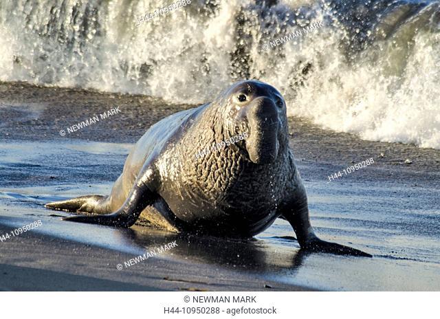 USA, United States, America, California, seal, animal, northern elephant seal, mirounga angustirostris
