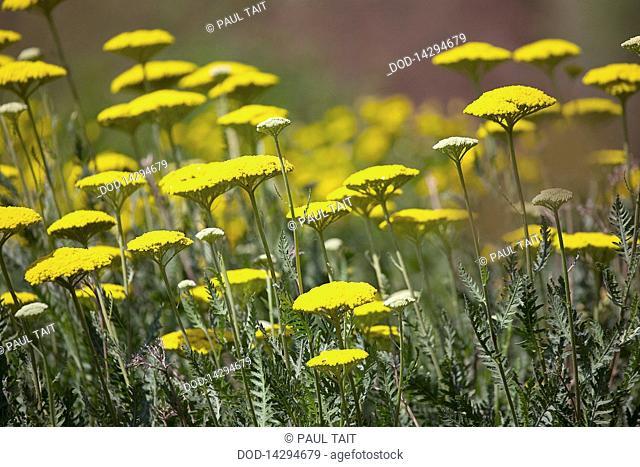 Belgium, field of yellow yarrow flowers, close-up