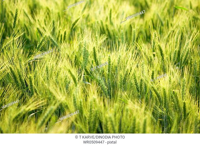 Green spike of wheat crop in field , Salunkwadi , Ambajogai , Beed , Maharashtra , India 17-February-2009