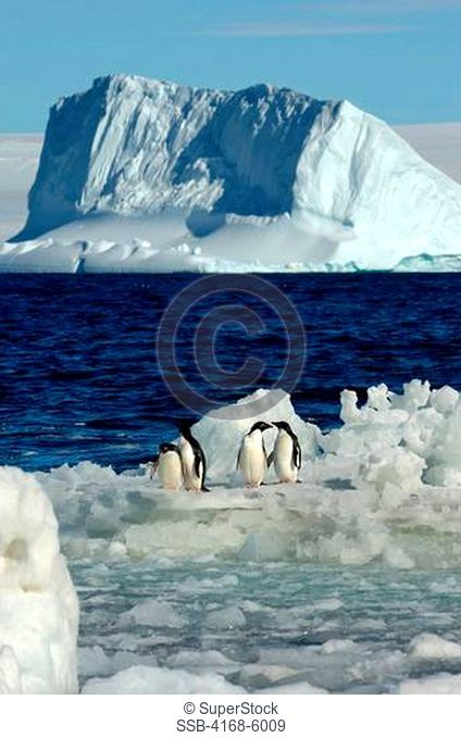 ANTARCTICA, PAULET ISLAND, BEACH, ADELIE PENGUINS ON ICE, ICEBERG IN BACKGROUND