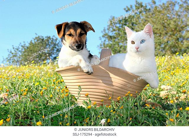 Domestic Cat. White kitten (7 month old) and Jack Russell Terrier puppy sitting in a basket on a flowering meadow