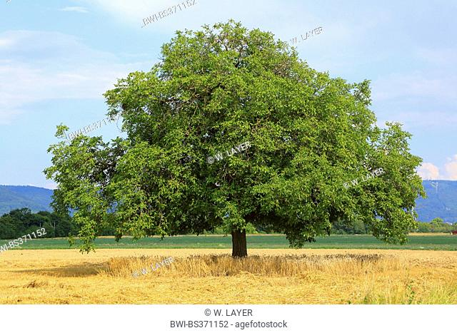 walnut (Juglans regia), single tree on a field, Germany