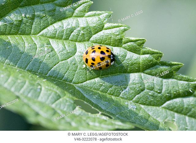 Harlequin Ladybird pupae, Harmonia axyridis, large ladybird which have multiple colora variations with dots 0-22. Most common form is red or orange with 14 dots...