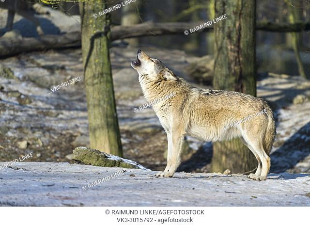 Wolf, Canis lupus, howling in winter, Germany