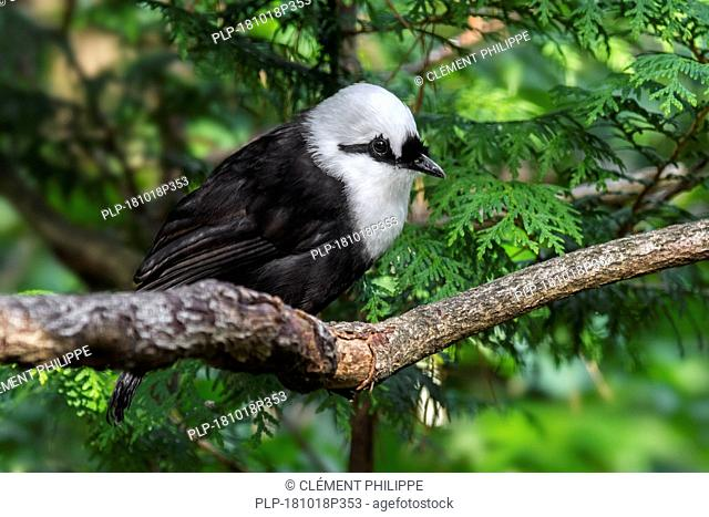 Sumatran laughingthrush / black-and-white laughingthrush (Garrulax bicolor) endemic to the Indonesian island of Sumatra