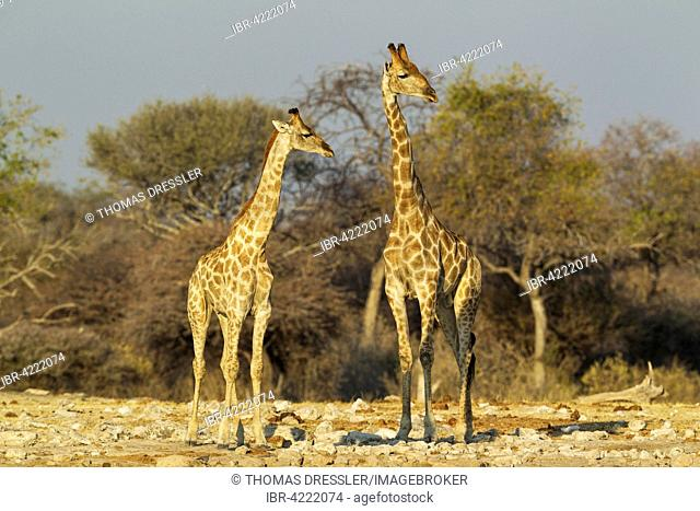 South African giraffes (Giraffa camelopardalis giraffa), young female on left and male attentively observing surroundings of waterhole before approaching