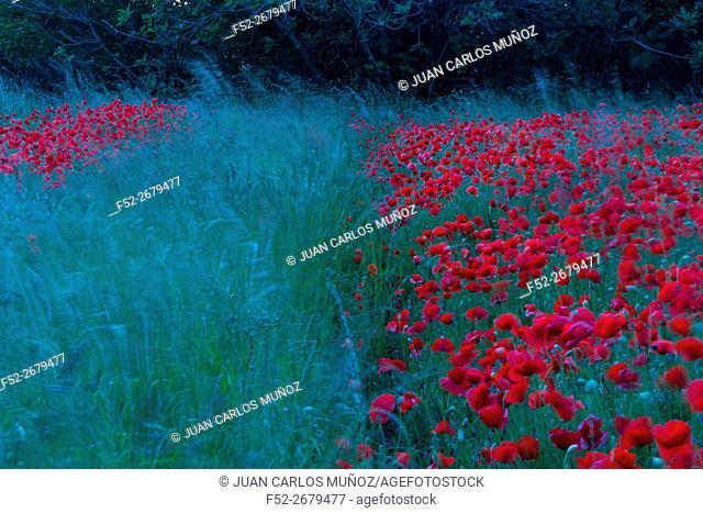 PAPAVER (Papaver sp. ), Noja, Marismas de Santoña, Victoria y Joyel Natural Park, Cantabria, Spain, Europe