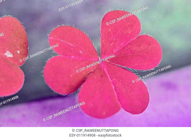 Beautiful pink leaves of Water clover