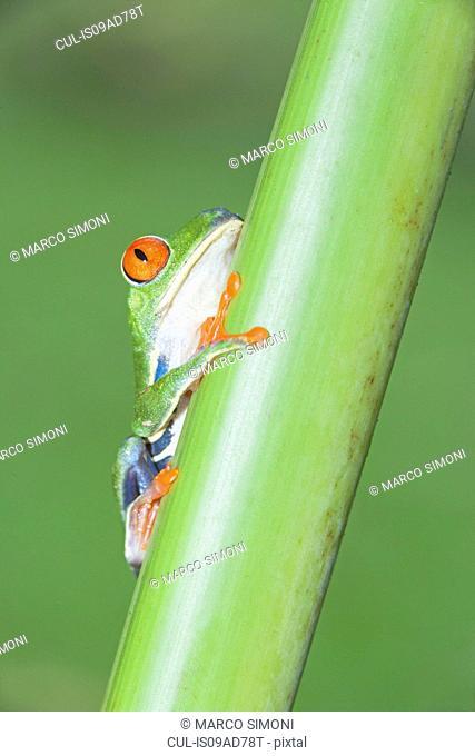 Red-eyed tree frog (Agalychnis Callidryas) on stem, Costa Rica