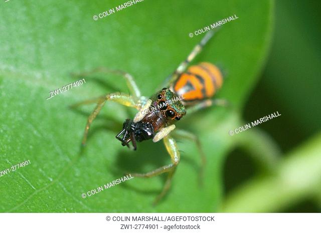 Jumping Spider (Natta sp. ), with captured ant, Klungkung, Bali, Indonesia