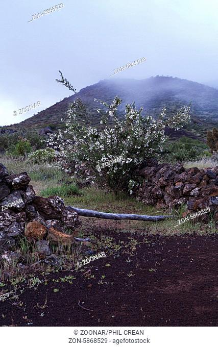 Cytisus proliferus in the mist near Valle Arriba in Tenerife, Canary Islands, Spain