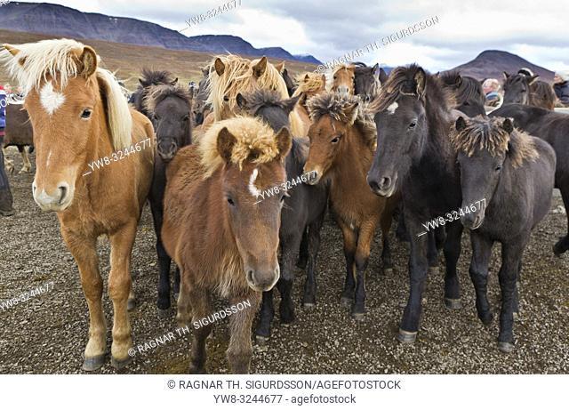 Horse gathering, Laufskalarett, Iceland