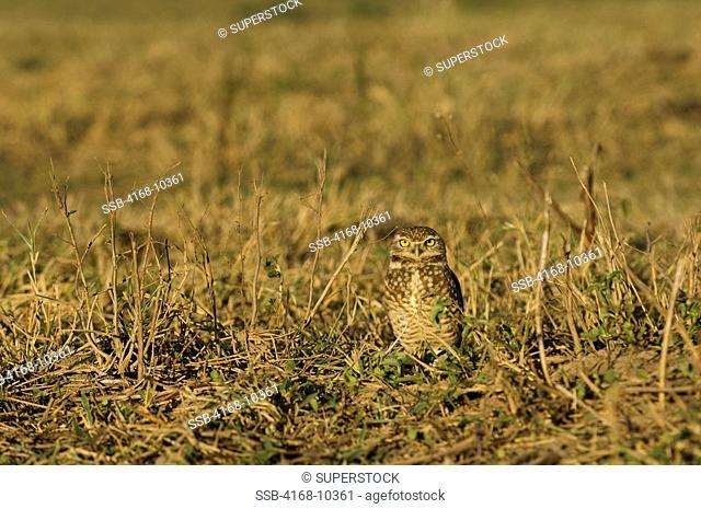 Brazil, Mato Grosso, Pantanal, Refugio Ecologico Caiman, Burrowing Owl Athene Cunicularia In Pature