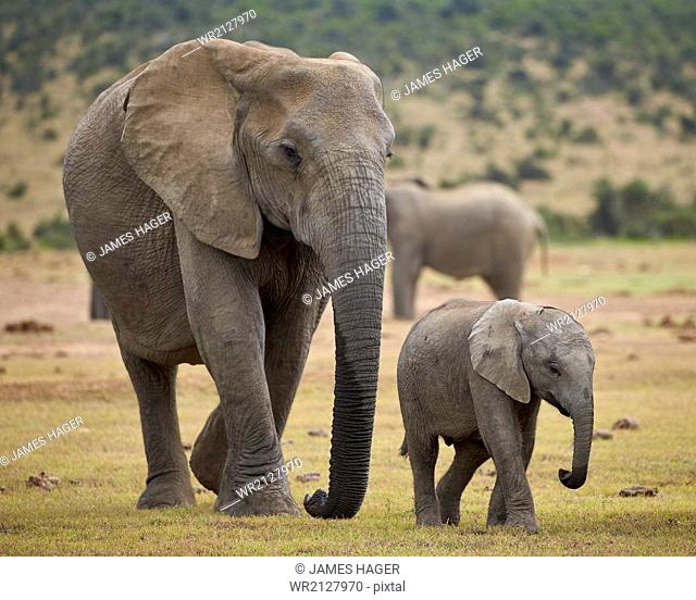 African elephant (Loxodonta africana) adult and baby, Addo Elephant National Park, South Africa, Africa
