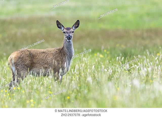 Female Red deer, standg and looking in to the camera with the mouth open, at Mull of Oa, Islay, Scotland