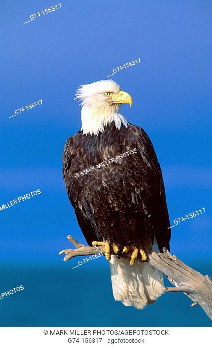 Bald Eagle (Haliaeetus leucocephalus). Alaska. USA
