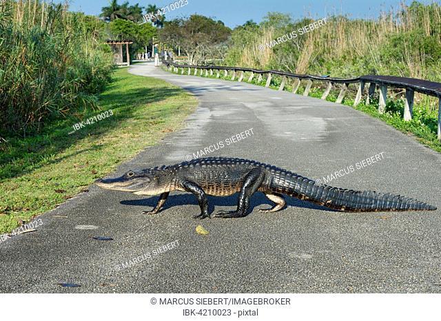 American alligator (Alligator mississippiensis) crossing path, Anhinga Trail, Everglades National Park, Florida, USA