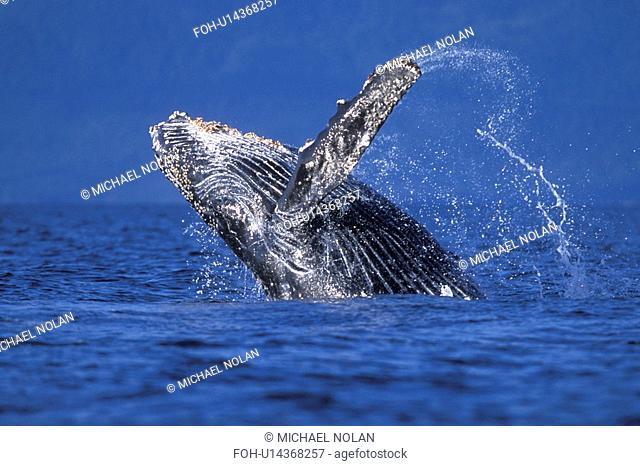 Humpback Whale Megaptera novaeangliae Calf breaching. Chatham Strait, Southeast Alaska, USA. Pacific Ocean