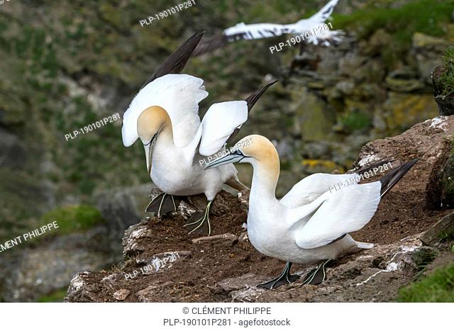 Two Northern gannets (Morus bassanus) on rock ledge in sea cliff at seabird colony in spring, Hermaness, Unst, Shetland Islands, Scotland, UK
