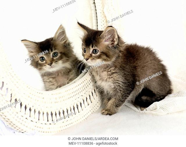 CAT. Tabby kitten with a mirror