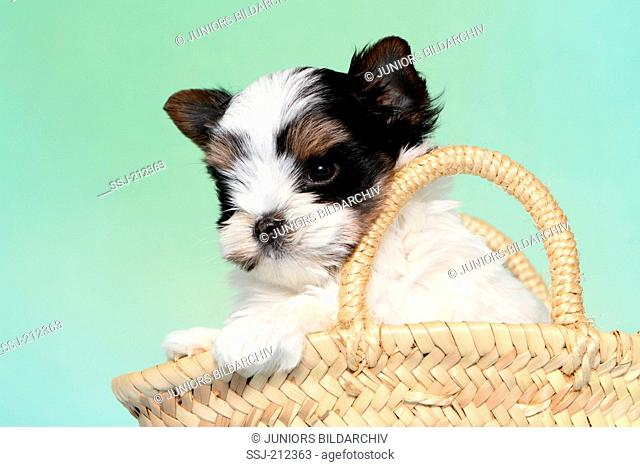Biewer Terrier. Puppy (7 weeks old) in a shoppig basket. Studio picture against a blue background. Germany