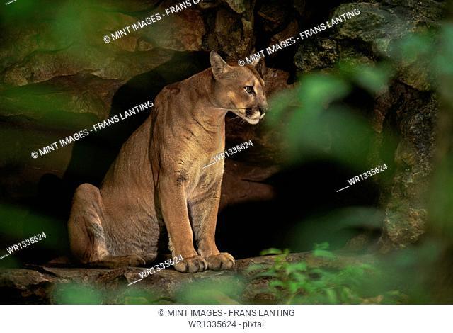 Cougar in cave, Puma concolor, Chiapas, Mexico