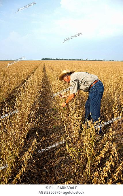 Agriculture - A farmer (grower) inspects his mature harvest ready crop of soybeans / Northeast Arkansas, USA