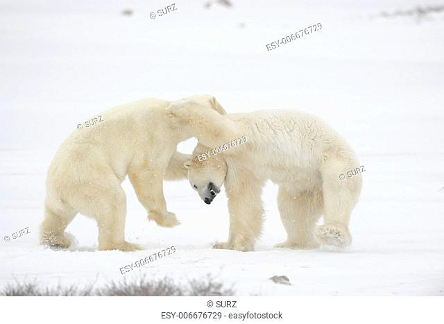 Polar bears fighting on snow have got up on hinder legs