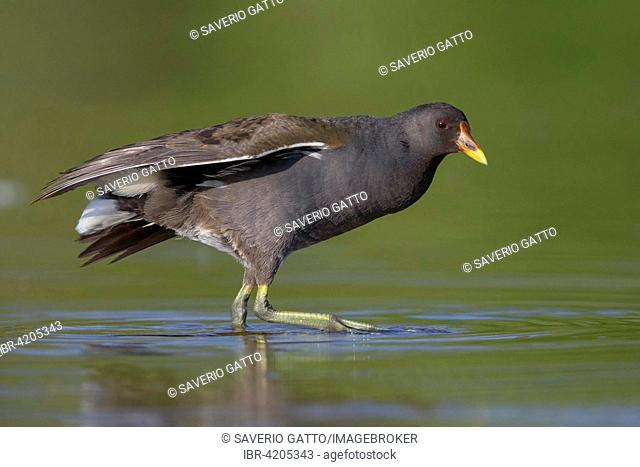 Common Moorhen (Gallinula chloropus), immature in the water, Campania, Italy