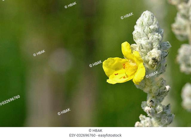 Great yellow mulleinin in gardin a sunny day
