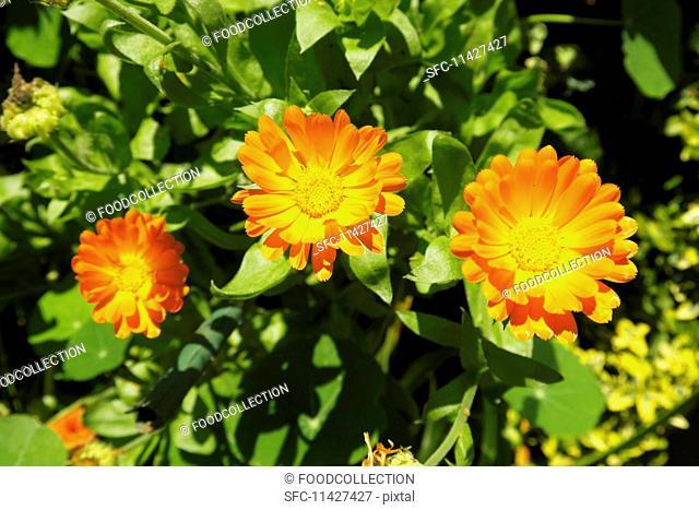 Calendula in sunshine