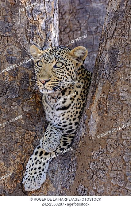 African leopard (Panthera pardus pardus) female in a tree. Ruaha National Park. Tanzania