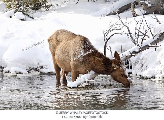 Elk in Firehole River, Winter, Yellowstone NP, WY