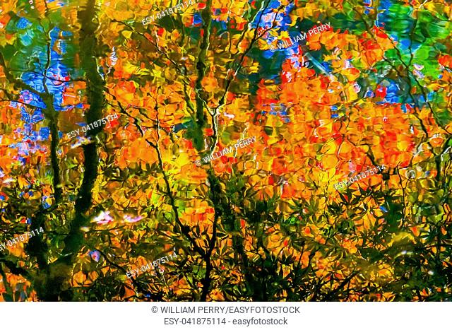 Red Orange Japanese Maple Trees Reflection Abstract Van Dusen Garden Vancouver British Columbia Canada
