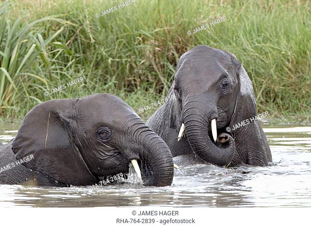 Two young African elephant Loxodonta africana playing in the water, Serengeti National Park, UNESCO World Heritage Site, Tanzania, East Africa, Africa