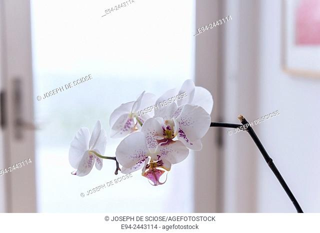 A white orchid in a home in front of a glass door