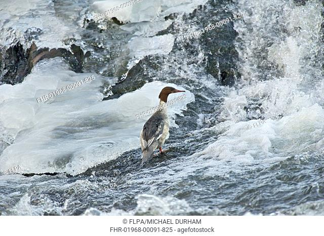 Goosander Mergus merganser adult female, standing in icy river, River Nith, Dumfries and Galloway, Scotland, december