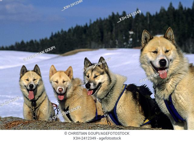 Siberian Husky, sled dogs at Bellecombe, Jura department, Franche-Comte region of eastern France, Europe
