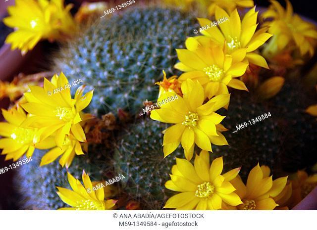 Yellow flowers of cactus