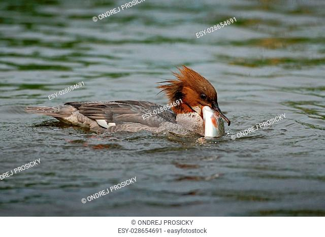 Common Merganser, Mergus merganser, water bird with catch fish