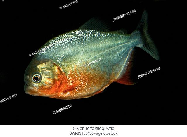 convex-headed piranha, Natterer's piranha, red piranha, red-bellied piranha (Serrasalmus nattereri, Pygocentrus nattereri, Rooseveltiella nattereri)