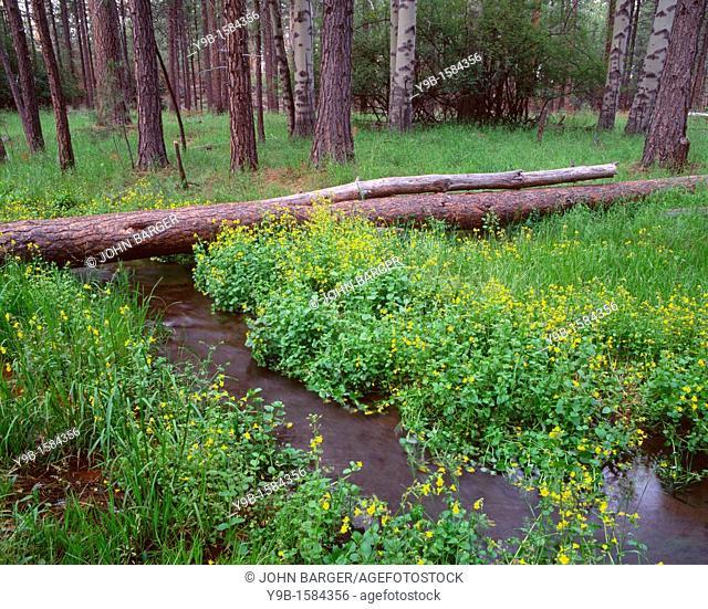 Yellow monkeyflower blooms along Cold Spring, beneath aspen-conifer forest, Deschutes National Forest, central Cascade Mountains, Oregon, USA