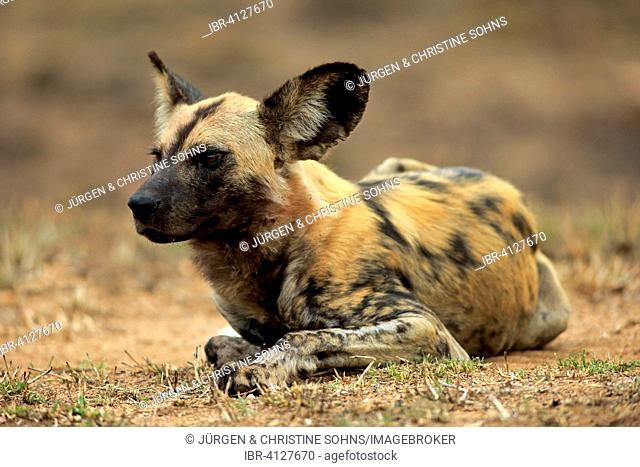African Wild Dog (Lycaon pictus), adult resting, Kruger National Park, South Africa