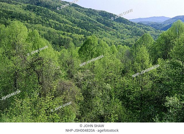 TEMPERATE FOREST near Sugarlands Centre, Great Smoky Mountains National Park, Tennessee Spring