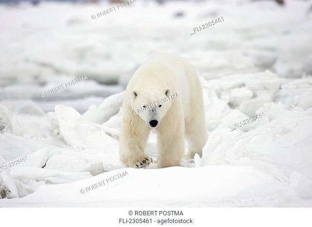 Polar Bear Walking In The Ice And Snow;Churchill Manitoba Canada